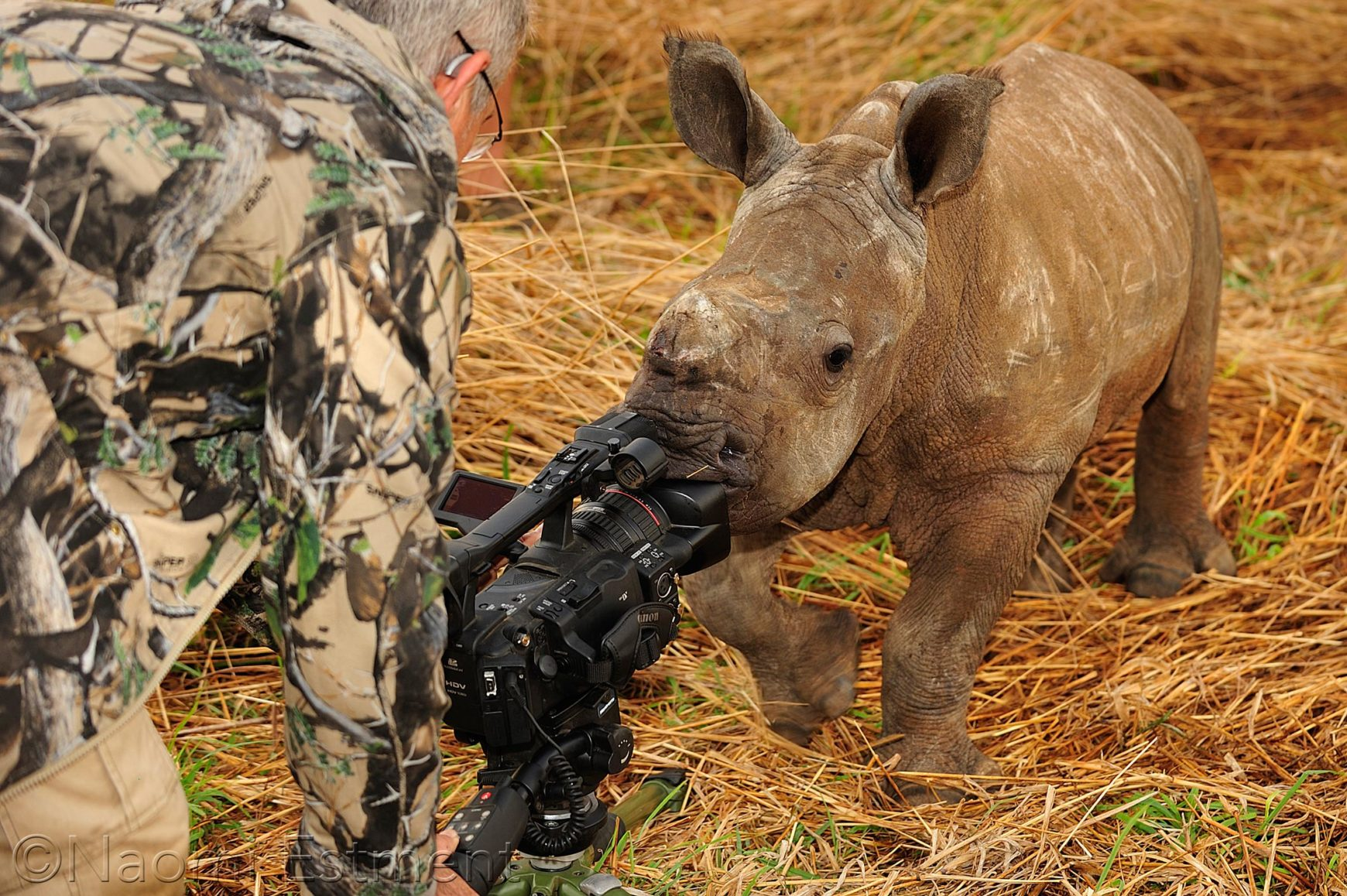 Dave Estment with rhino calf sucking his camera